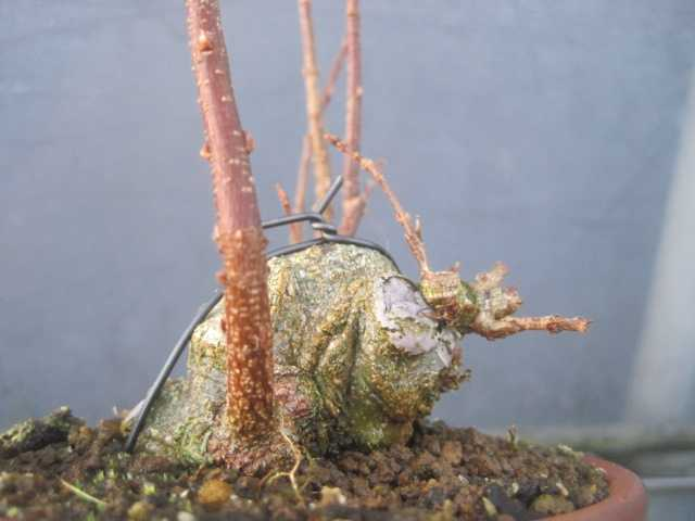 74dc1576436 ちょっと前に、芯を落として、その後の芽に切り替えました。