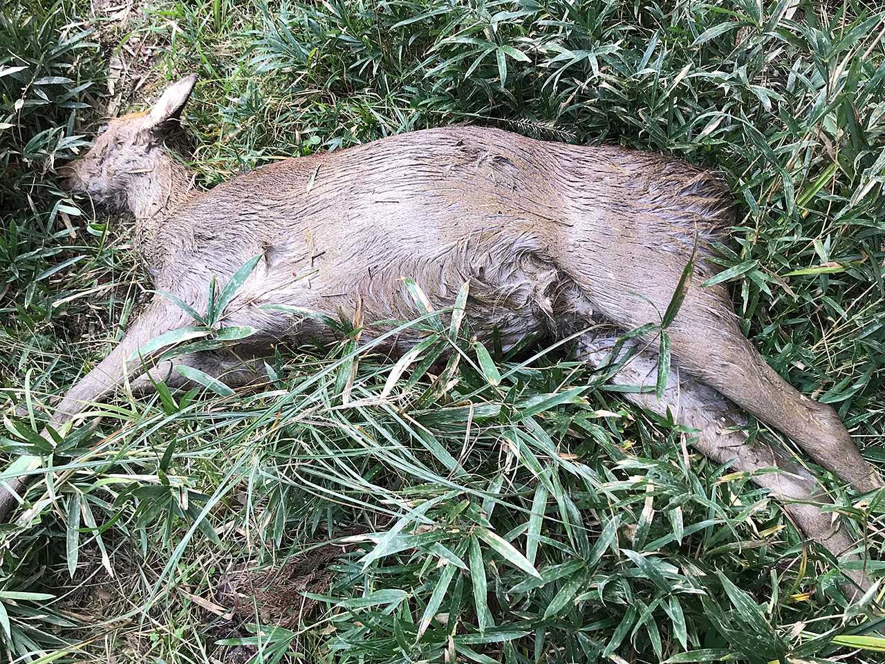 昨日も出猟。雌鹿1頭捕獲。 - 山...