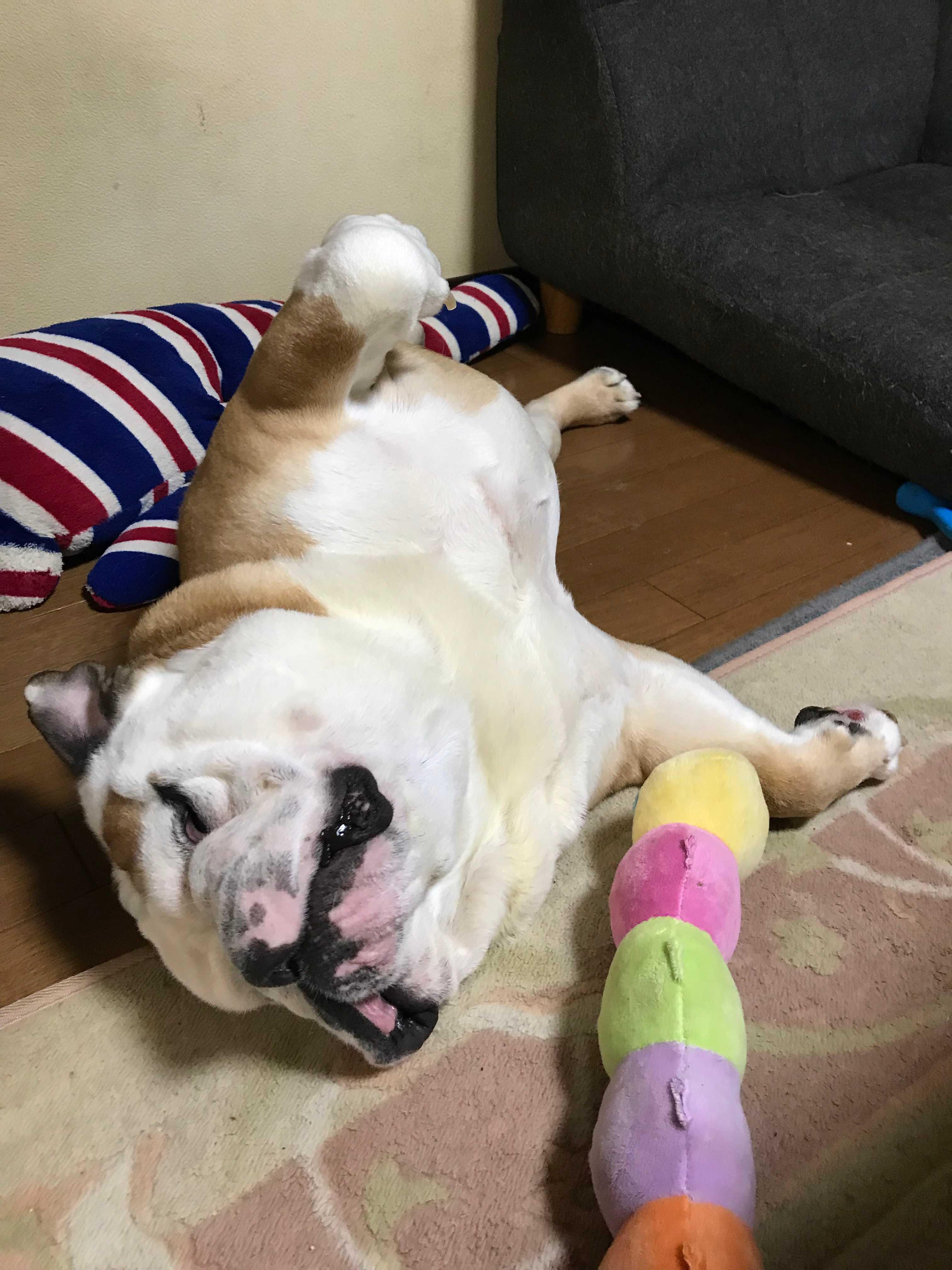 Image result for 犬 english bulldog へそ
