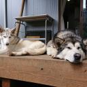 ブログ「滝沢牧場犬ぞり計画」