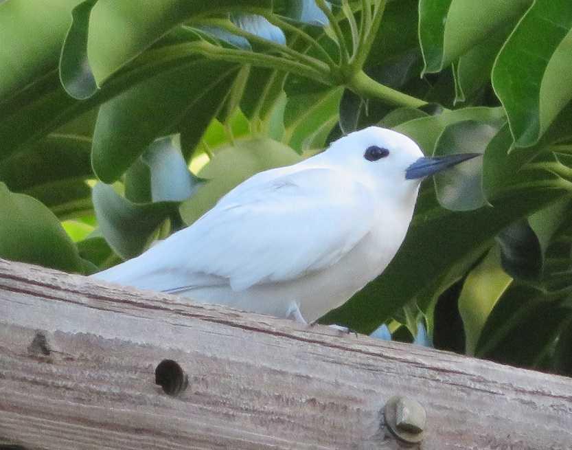 シロアジサシ - 鳥とハワイ生活...