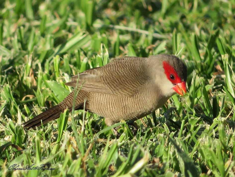 ハワイで最も小さい鳥 オナガカ...
