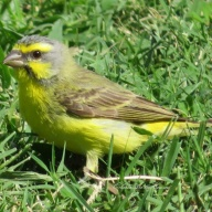 キマユカナリア Yellow-fronted Canary