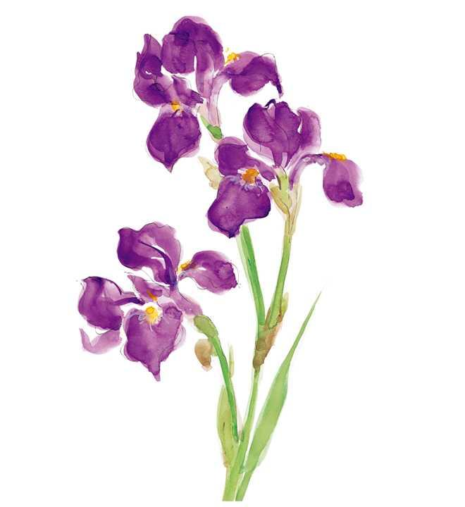 カキツバタ,花,春,植物,水彩画,イラスト,素材
