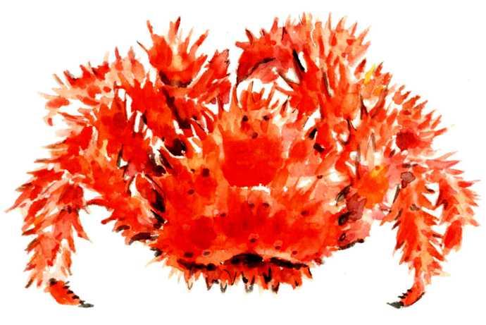 花咲ガニ,水彩画,イラスト,カニ,魚介,食材,素材