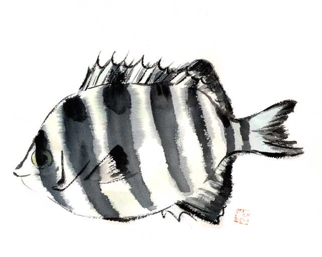 イシダイ,水彩画,イラスト,魚介,素材,食材