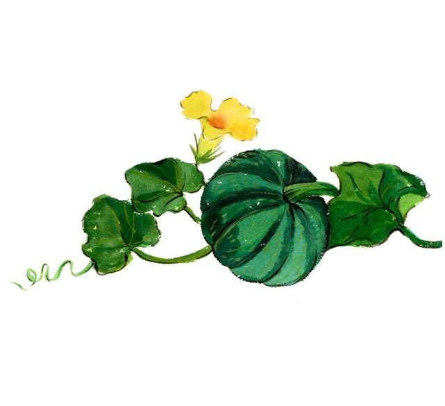 カボチャ,仕事絵,野菜の花,水彩画,イラスト,素材,食材,食べ物