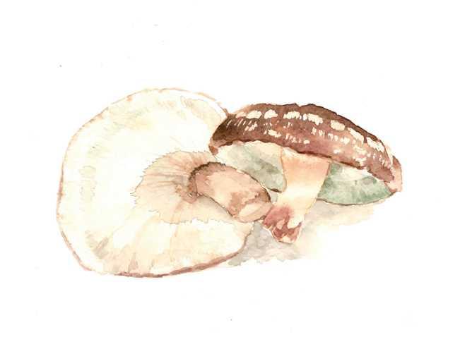 椎茸,シイタケ,野菜,農家,高塚由子,Yoshiko,Taaktsuka,水彩画,Watercolor,素材,食材,食べ物