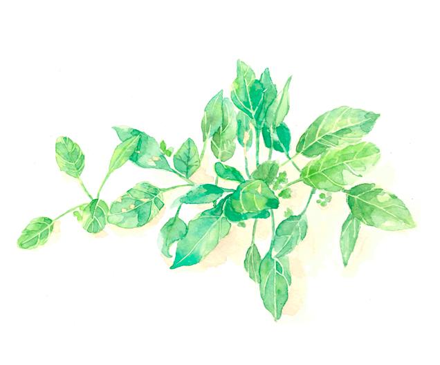 ほうれん草, 苗, 農家, 野菜, 春,高塚由子,Yoshiko,Taaktsuka,水彩画,素材,食材