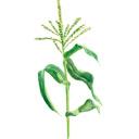 七十二候 蟷螂生 玉蜀黍 トウモロコシ 高塚由子の水彩画 魔法の筆