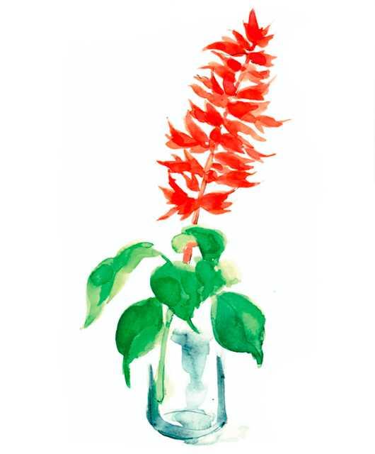 サルビア,赤,花,初夏,植物,水彩画,イラスト,素材
