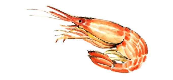北海シマエビ,水彩画,イラスト,海老,魚介,素材,食材