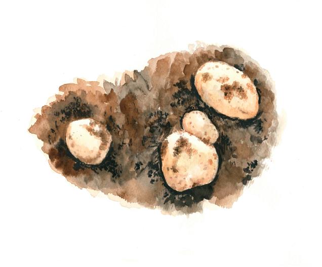 じゃがいも,焼き籾殻,高塚由子,Yoshiko,Taaktsuka,水彩画,Watercolor,イラスト,素材,食材,食べ物