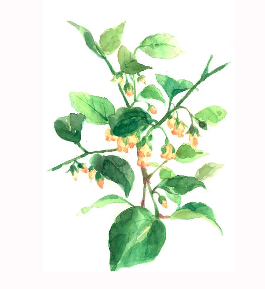 ドウダンツツジ,満天星,花,植物,水彩画,イラスト