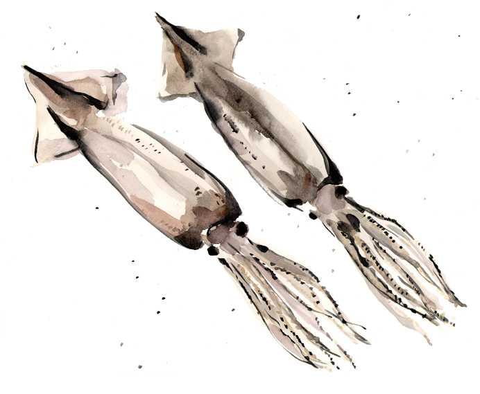 スルメイカ,水彩画,イラスト,イカ,魚介,素材,食材