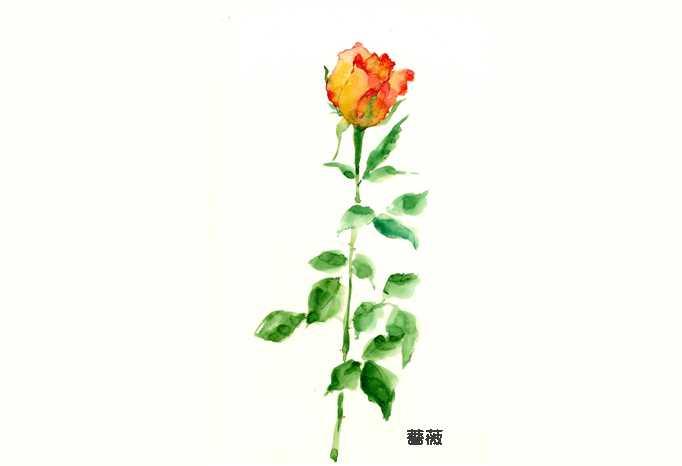 バラ,水彩画,イラスト,花,植物