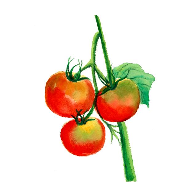 仕事絵,トマト,冷やしトマト,夏,野菜,水彩画,イラスト,素材,食材,食べ物