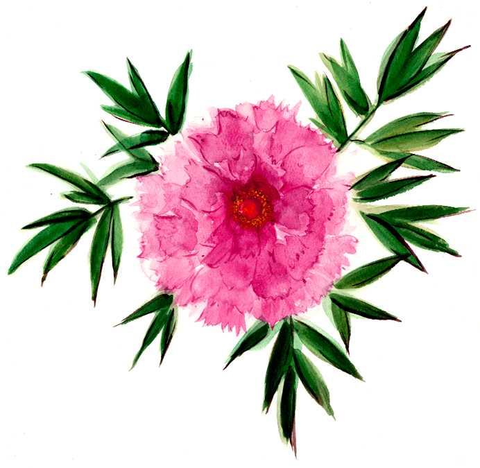寒牡丹,水彩画,イラスト,牡丹,花,植物,素材