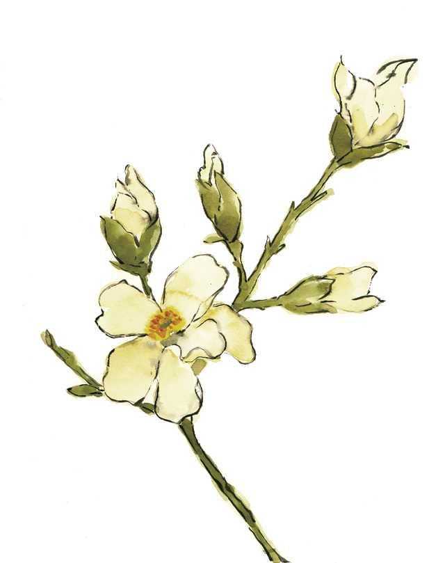 コブシ,花,春,水彩画,イラスト