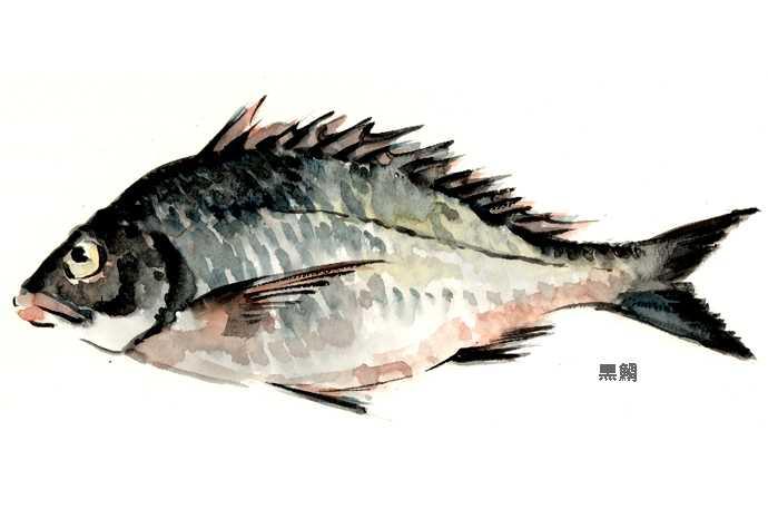 クロダイ,水彩画,イラスト,鯛,魚介,食材,素材