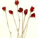 ドライフラワー 芳香剤 バラ 高塚由子の水彩画 魔法の筆