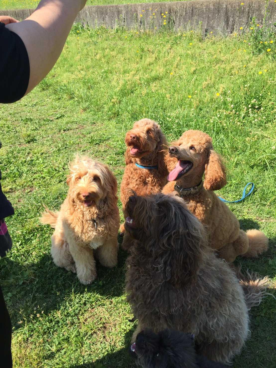 Image result for 犬 Goldendoodle 走る