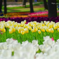 colorful tulip♪