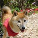 ブログ「柴犬サキちゃん」